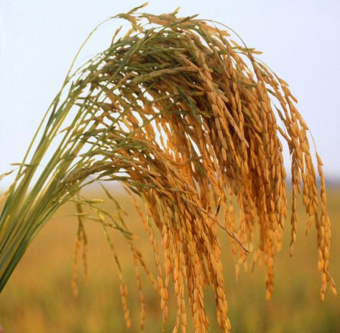arroz-longo