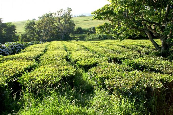 Campo-de-Cha-Verde